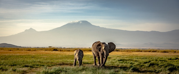 Spoed Fotobehang Beige elephants in front of kilimanjaro