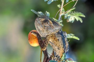 Fond de hotte en verre imprimé Papillon Macro shots, Beautiful nature scene green chameleon