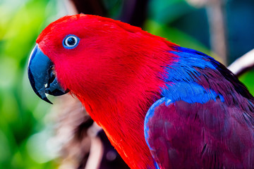 Red Blue Female Eclectus Parrot Close