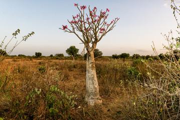 Adenium obesum (Desert Rose), Omo Valley, Ethiopia