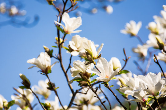 white magnolia blossom. beautiful nature scenery in spring. twigs with flowers on a blue sky background