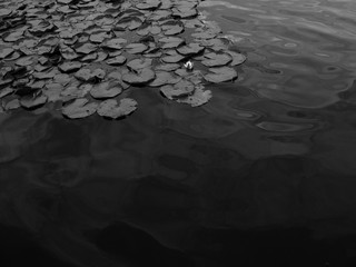 Garden Poster Lotus flower High angle grey scale shot of lotus leaves on the surface of a pond