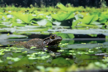 A picture of a Bull frog peeking out the water.  Vancouver Aquarium  BC Canada