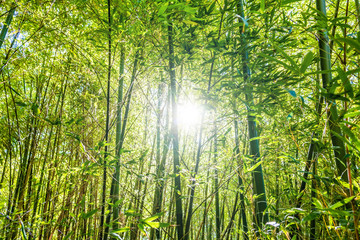 Sun shining through bamboo trees in a forest