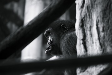 Closeup greyscale shot of a chimpanzee with a serious face
