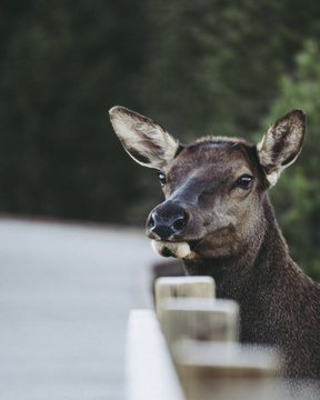 Closeup shot of a cute white-tailed deer with a sad facial expression