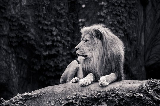 Greyscale shot of a lion sitting in the woods with a serious facial expression