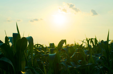picture of corn cob in organic corn field.