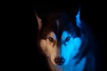 Husky portrait of a wolf's head on a black background