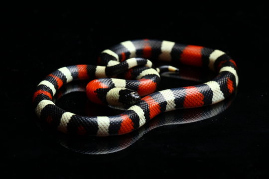Pueblan milk snake or Campbell's milk snake, Lampropeltis triangulum campbelli, isolated on black background