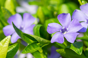 Wall Mural - Colorful violet periwinkle flowers