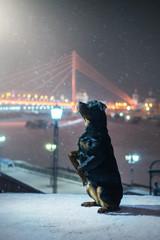 Rottweiler dog. Winter night