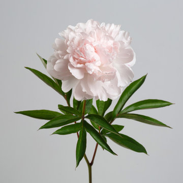 Pastel gently pink peony isolated on a gray background.