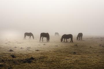 Horses in the fog, Cansiglio plateau, Veneto Italy, Europe.
