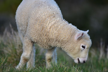 Side detail of young lamb with half open mouth getting closer to grass.