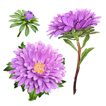 Set of three beautiful summer flowers of violet Aster isolated on white background for luxury floral design