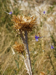Dry thistle and blooming blue bells in the mountains of Croatia
