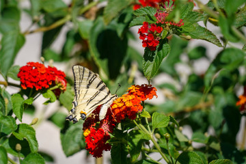 Butterfly Podalirius (Swallowtail Swallowtail) drinks nectar from a red lantana flower