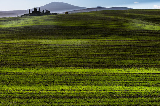 Val d'Orcia striped of green young wheat or oat field on a rolling hillside in late autumn and early winterfield, Orcia valley, Tuscany, Italy, Europe