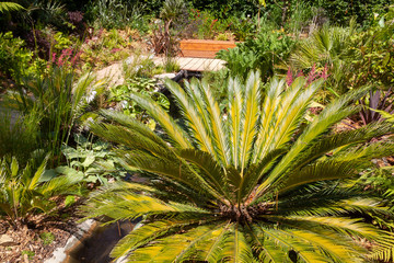 Fougère arborescente dans un jardin