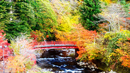 Beautiful autumn maple leaves in Japan