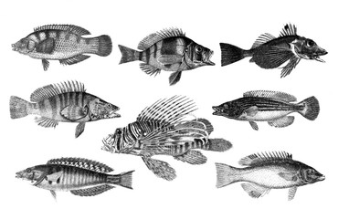 Many different Fish in collection from old Antique illustration from Brockhaus Konversations-Lexikon 1908