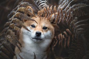 chien shiba inu camouflé  dans les fougères  Fotobehang
