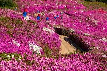 Photo sur Plexiglas Azalea Horizontal image of paper lantern lamp in a purple azalea flowers field in South Korea.