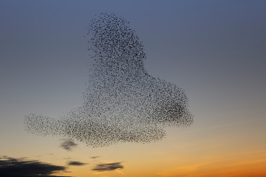 swarms of starlings at dusk in Brighton