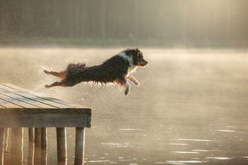 the dog jumps into the water. Australian Shepherd on a wooden walkway on a lake. Pet in Nature