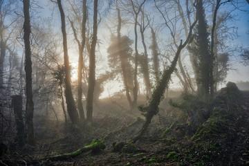 Misty Cotswolds woodland in winter