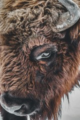 Garden Poster Bison Closeup of a brown bison eye with horns under the lights during daytime