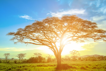 African acacia tree at sunrise in the African savannah of the Serengeti wildlife area of Tanzania, East Africa. African safari scene in Serengeti national park.