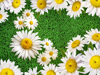 Floral background camomile outdoors in the summer
