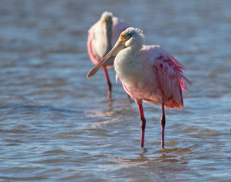 The roseate spoonbills (Platalea ajaja) feeding in tidal marsh, Galveston, Texas, USA, Galveston, Texas, USA