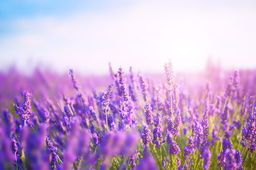 Lavender flowers in the morning sunlight. Provence, France. Macro image, shallow depth of field
