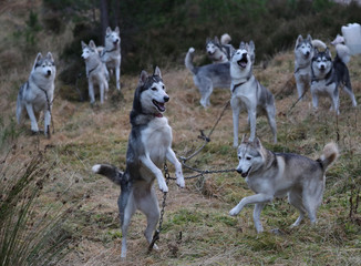 Huskies are tethered before going on a training run for this weekend's annual Aviemore Sled Dog Rally, Feshiebridge, Scotland