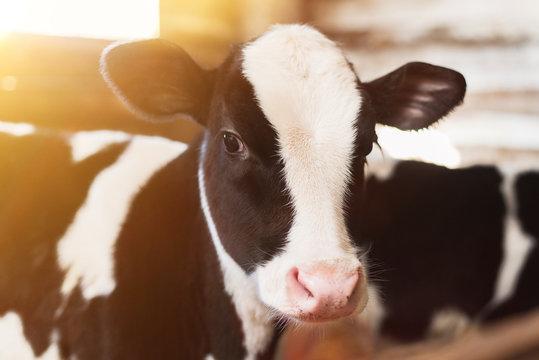 calf on the farm. Inside the farm is a cute baby cow. A lot of hay