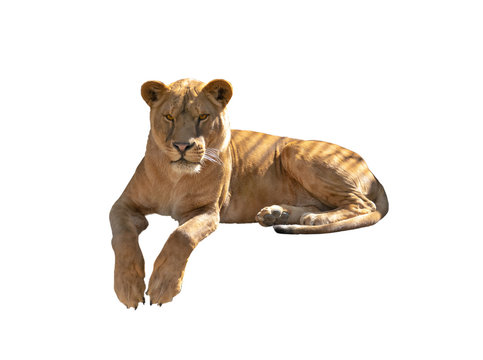 lioness isolated on a white