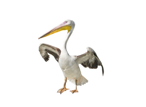 Pelican isolated on a white