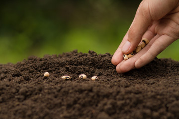 Fototapeta Hand Sowing seeds to losing soil. growth vegetable at home and backyard garden, Retirement hobby and gardening concept. obraz