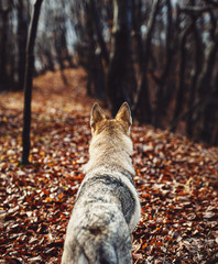 Czechoslovakian wolfdog in beautiful autumn nature. wolfhound.