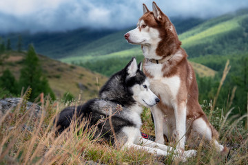 Two Siberian husky dogs on walk in autumn mountains. Dogs look around. Beautiful husky on background of misty wooded mountains