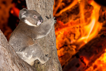 yelling crying koala in australia bush fire
