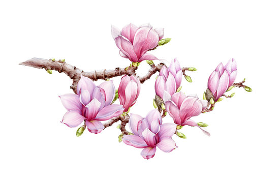 Pink magnolia big flower branch watercolor illustration. Hand drawn lush spring blossom with green buds on a tree. Magnolia blooming tree element isolated on the white background.