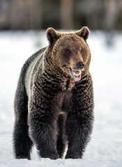 Brown bear with open mouth in the snow. Front view. Scientific name: Ursus Arctos. Winter forest. Natural Habitat.