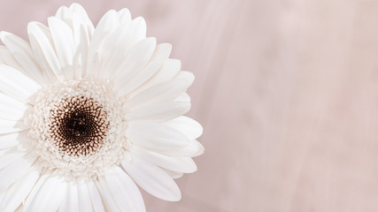 White gerbera natural flower on light background with copy space for your text. Greeting card for Birthday, wedding day or Womans Day. Selective focus.