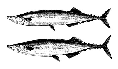 Saury, fish collection. Healthy lifestyle, delicious food. Hand-drawn images, black and white graphics.