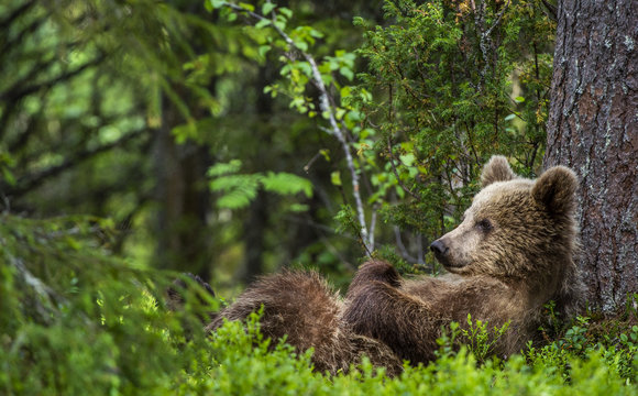 Cub of Brown Bear lying on his back with his paws raised in the green grass in the summer forest. Green pine forest natural background, Scientific name: Ursus arctos.