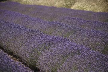 Foto op Canvas Lavendel Champ de lavande
